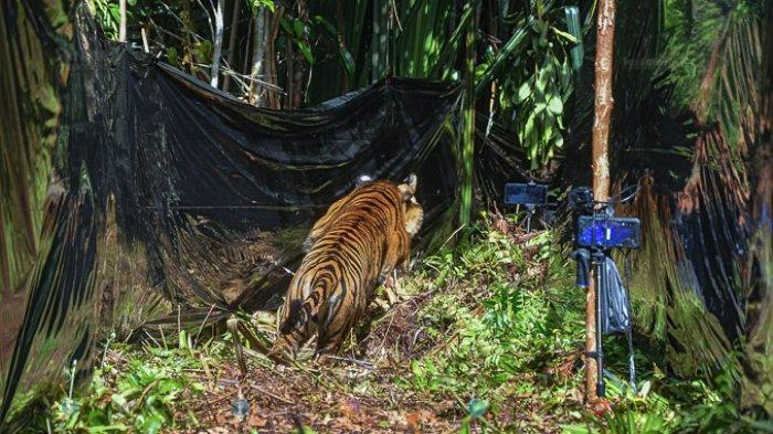 FOTO - Corina, Harimau Sumatera Yang Terjerat Saat Dunia Sedang Dilanda Corona - harimau-sumatera-corina-berlari-ke-hutan.jpg