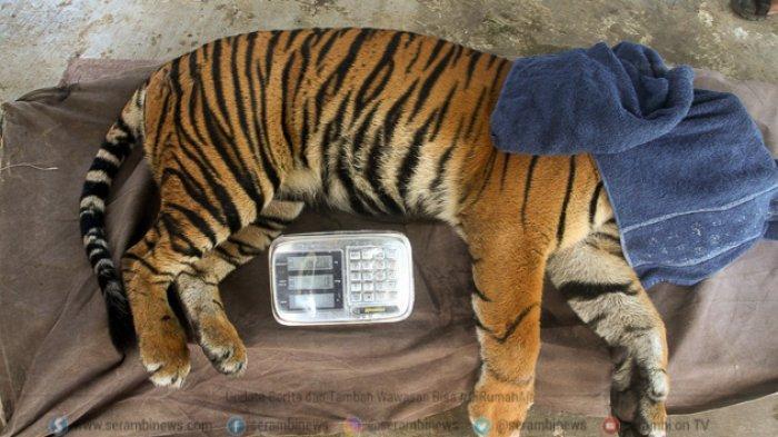 FOTO - Corina, Harimau Sumatera Yang Terjerat Saat Dunia Sedang Dilanda Corona - harimau-sumatera-panthera-tigris-sumatrae-bernama-corina.jpg