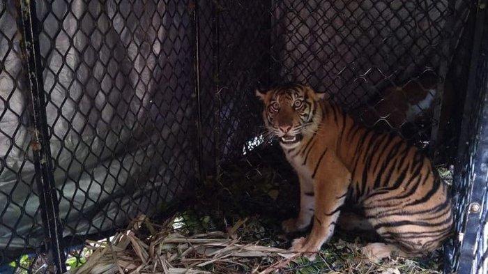 Harimau yang Ditangkap Berjenis Kelamin Betina, BKSDA Aceh: Yang Berkeliaran Salah Satunya Cidera