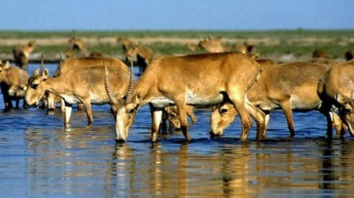 350 Ekor Antelop Satga Mati Disambar Petir di Kazakhstan