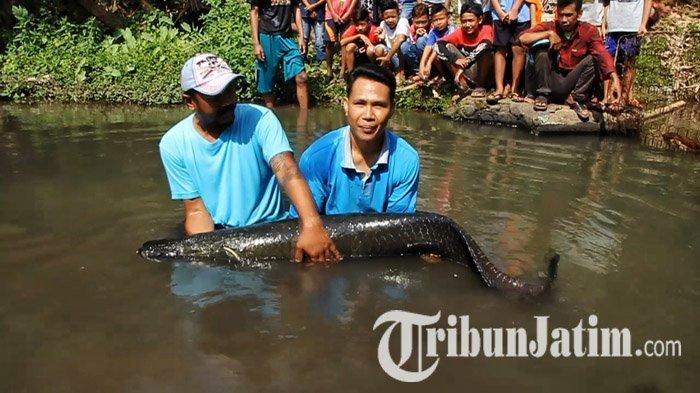 Lagi, Ikan Monster Seberat 50 Kg Kembali Ditemukan di Sungai Brantas