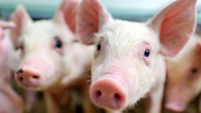 Temukan Flu Babi Jenis Baru, Peneliti Cina Sebut Bisa Menjadi Pandemi Global