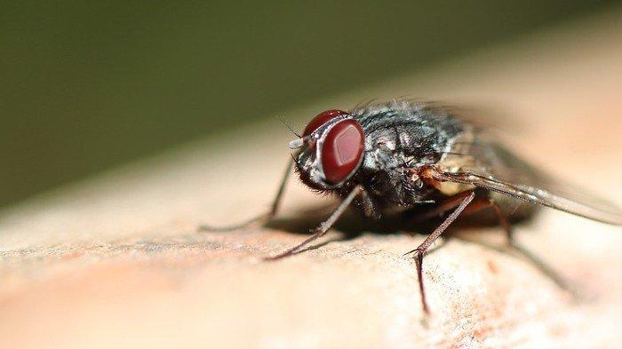 7 Solusi Alami untuk Mengusir Lalat di Rumah, Bisa Pakai Daun Kemangi hingga Cengkeh
