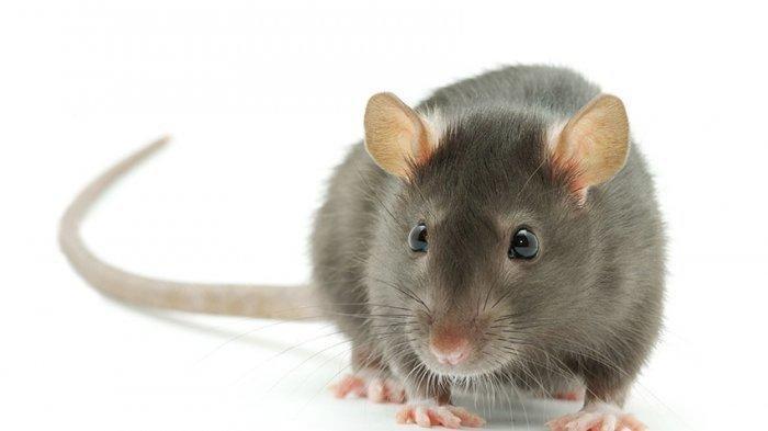 Berikut Cara Mengusir Tikus dari Rumah, Tanpa Racun dan Perangkap, Simak 6 Langkah Ini