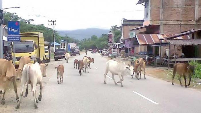 Sapi Berkeliaran di Jalan Malahayati Aceh Besar