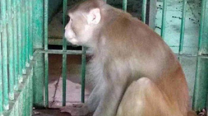 Monyet Ini Dijatuhi Hukuman Penjara Seumur Hidup, Telah Membunuh Satu Orang dan Melukai 250 Lainnya