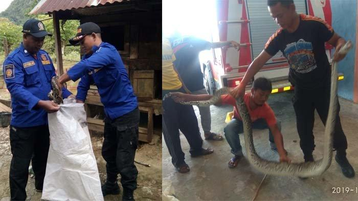 Petugas Pemadam Aceh Besar Tangkap Dua Ular Piton di Lhoong, Mangsa Ayam dan Bebek