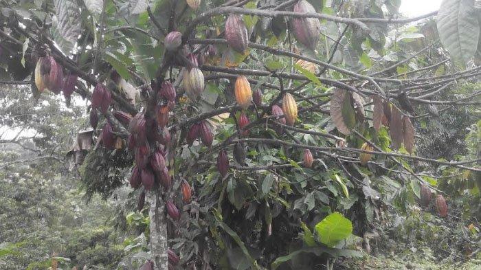 Harga Kakao Kering Naik di Putri Betung dalam Sebulan Terakhir