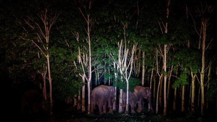 FOTO - Menghalau Kawanan Gajah Liar Yang Masuk ke Kebun Warga Pada Malam Hari - kawanan-gajah-liar-memasuki-area-perkebunan-warga-2.jpg