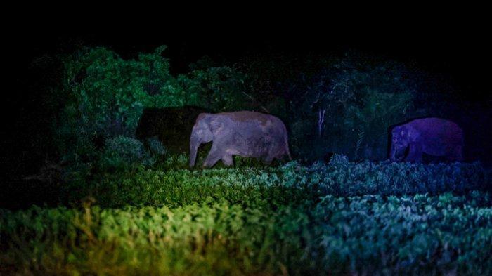 FOTO - Menghalau Kawanan Gajah Liar Yang Masuk ke Kebun Warga Pada Malam Hari - kawanan-gajah-liar-memasuki-area-perkebunan-warga-3.jpg