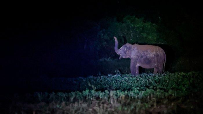 FOTO - Menghalau Kawanan Gajah Liar Yang Masuk ke Kebun Warga Pada Malam Hari - kawanan-gajah-liar-memasuki-area-perkebunan-warga-6.jpg