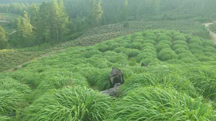 Harga Minyak Sere Wangi di Gayo Lues Berangsur Naik, Petani Kembali Semangat ke Kebun dan Menyuling