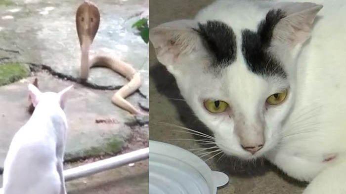 Kesetiaan Kucing Jaga Rumah Tuannya dari Ular Kobra, Tahan 30 Menit sampai Bantuan Datang