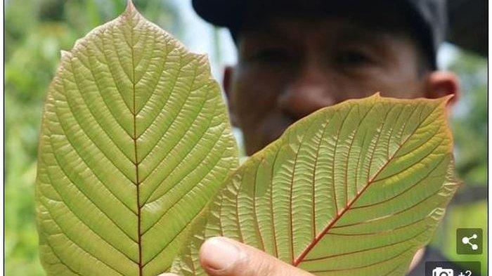 Lebih Berbahaya Dari Kokain Dan Ganja Bnn Usulkan Daun Kratom Masuk Daftar Narkotika Serambi Indonesia