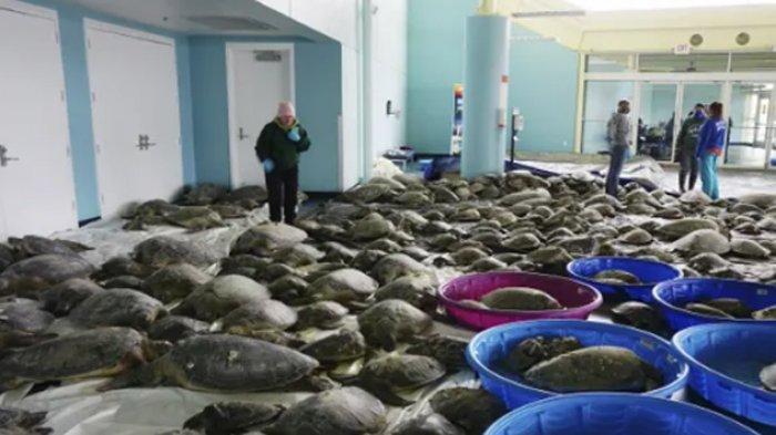 Badai Salju Kejutkan Ribuan Ekor Kura-kura, Dikumpulkan di Gedung Tanpa Listrik di Texas