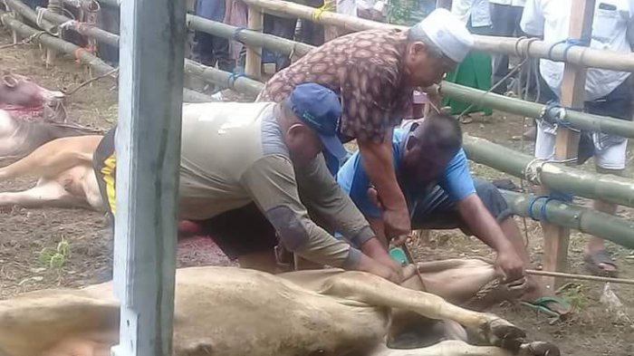 Warga Bambi Sembelih 50 Hewan Kurban Seusai Shalat Idul Adha
