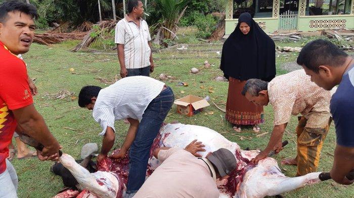 Jaga Tradisi Kurban, Gampong Waido Potong 5 Sapi dan 1 Kerbau