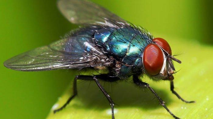 Jangan Anggap Remeh, Lalat Juga Bisa Sebarkan Virus Corona Selama 24 Jam Setelah Terinfeksi