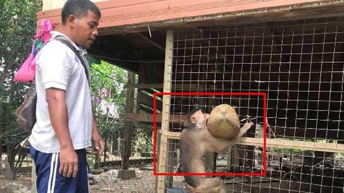 Latih Monyet Lebih dari 100 Ekor untuk Petik Kelapa, Sebut Ilmu Turunan dan Raup Uang Jutaan