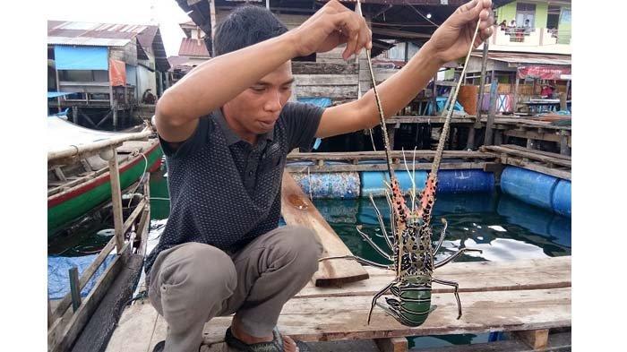 Ongkos Pesawat Mahal, Lobster Pulau Banyak Aceh Singkil tak lagi Diekspor