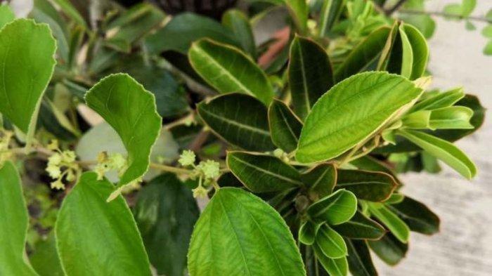 manfaat dan khasiat daun bidara