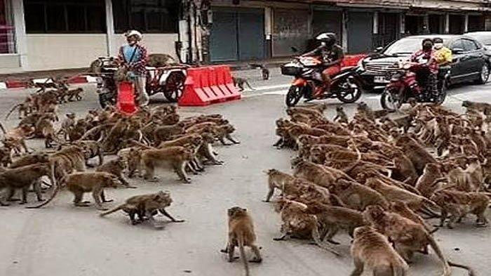 Monyet Tawuran di Jalan, Bikin Lalu Lintas Macet, Dipicu Rebutan Lahan Cari Makanan