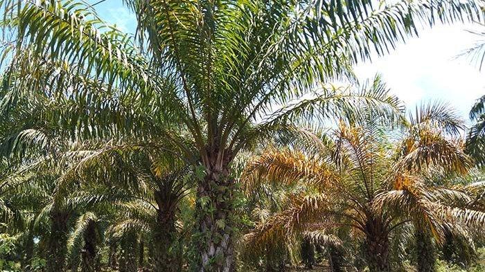 Produksi Sawit di Aceh Singkil Anjlok, Harga Kokoh Rp 1.600 Per Kg