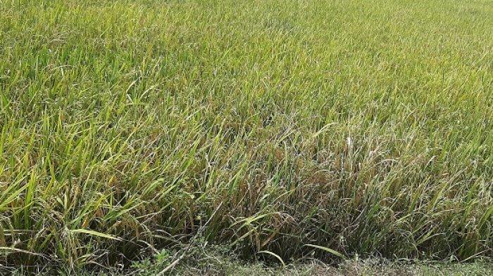 Petani Tertipu Beli Benih Padi Beredar di Pasar, Produksi Padi akan Menurun