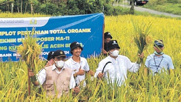 BI Aceh Panen Padi Organik, Hasilkan 10,6 Ton/Hektare