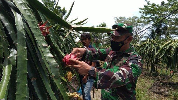Asyiknya Panen Buah Naga di Kodim 0109/Aceh Singkil