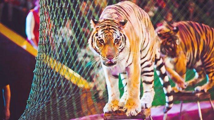 Pawang Terkenal Tewas Diterkam 4 Ekor Harimau yang Sedang Dilatihnya untuk Sirkus