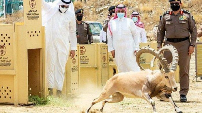 Arab Saudi Lepaskan Kembali 20 Ekor Kambing Gunung ke Alam Liar Taman Nasional Baha