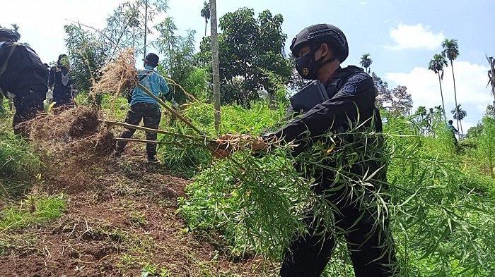 Brimob Polda Aceh Backup Pemusnahan Ladang Ganja di Aceh Utara