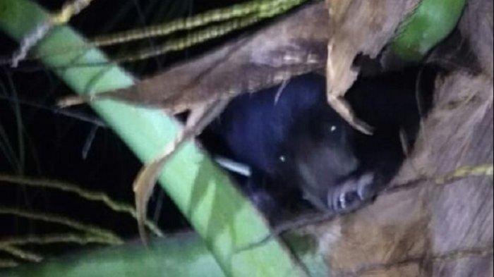 Awas Induk Beruang Masih Berkeliaran Dekat Pemukiman Penduduk Aceh Singkil