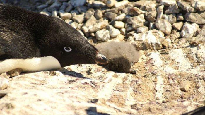 Kisah Pilu dari Antartika, Ribuan Anak Penguin Mati Kelaparan