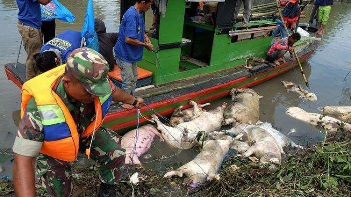 Babi yang Mati di Sumut Capai 22.985 Ekor Terserang Hog Cholera, Bangkainya Lintasi Sungai Aceh