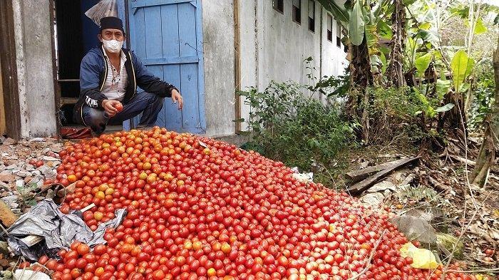 Viral Petani Bener Meriah Buang Tomat Akibat Harga Anjlok dan Permintaan Kurang