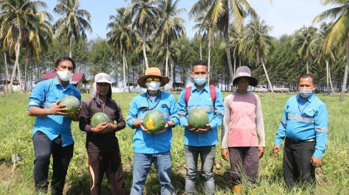 Petani Semangka Binaan Mifa, Panen Perdana 3 Ton Semangka