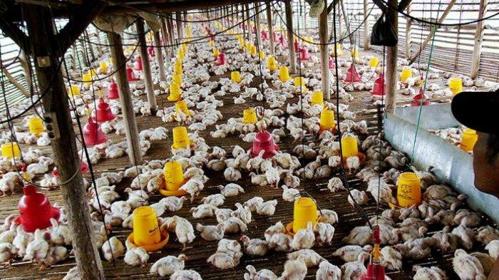 Peternak Ini Panik Hingga Lapor Polisi usai Mendapati Ayam-ayam Miliknya Berhenti Bertelur
