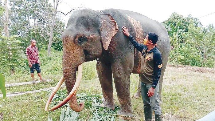Dibalik Kisah Petugas CRU Aceh Utara, Kala Gajah Jinak Selamatkan Asisten Pawang