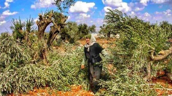 Warga Israel Hancurkan Kebun Zaitun Milik Petani Palestina