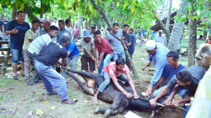 Masyarakat Bambi Sembelih 70 Ekor Hewan Kurban