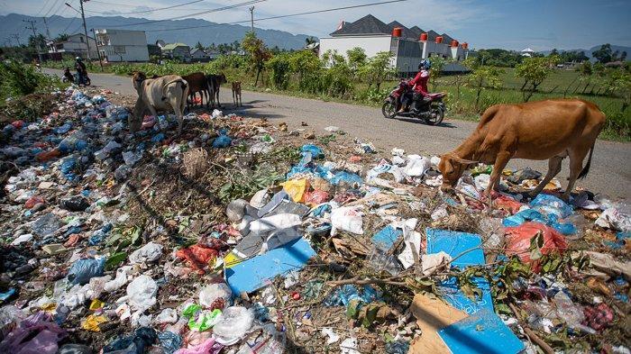 FOTO-FOTO : Gerombolan Sapi Mencari Makanan di Antara Tumpukan Sampah Rumah Tangga di Aceh Besar