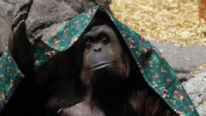 Orangutan Ini Dapat Perlakuan HAM Layaknya Manusia