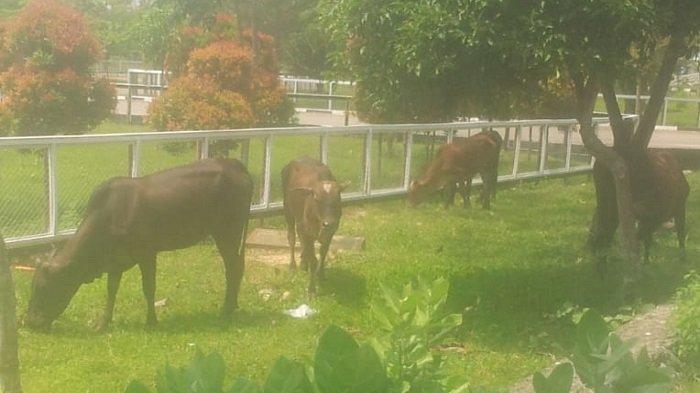 Ternak Berkeliaran, Kompleks Kantor Pemerintahan Pidie Jaya Mirip Kebun Binatang