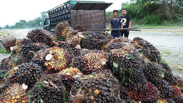 Harga TBS Kelapa Sawit di Aceh Selatan Mulai Merangkak Naik