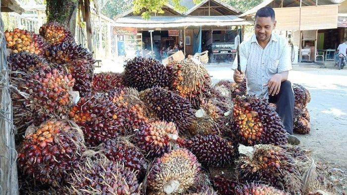 TBS Sawit di Aceh Timur Hanya Dihargai Rp 550 per Kilogram