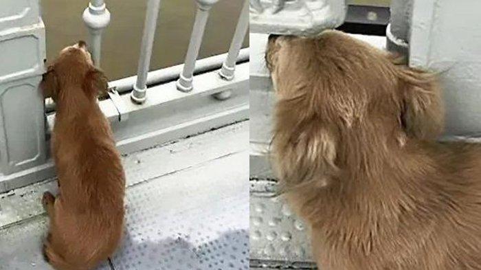 Seekor Anjing Setia Menunggu Berhari-hari di Jembatan, Setelah Pemiliknya Melompat ke Sungai
