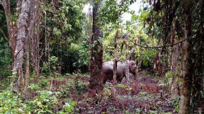 Gajah Sempat Masuk Lapangan Sepakbola di Keumala, 15 Ekor belum Mampu Digiring ke Habitatnya