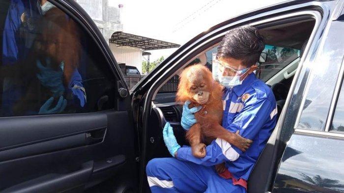 Bayi Orangutan Sumatera Subulussalam Akan Direhabilitasi di Sibolangit, BKSDA: Meminimalisir Stres
